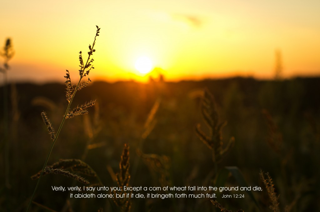 John 12:24 – Much Fruit christian wallpaper free download. Use on PC, Mac, Android, iPhone or any device you like.