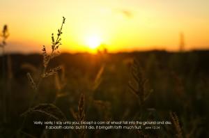 John 12:24 – Much Fruit Wallpaper