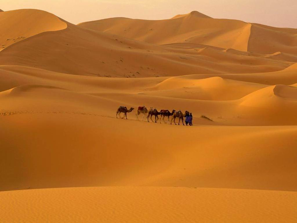 Camels in Desert Wallpaper Background