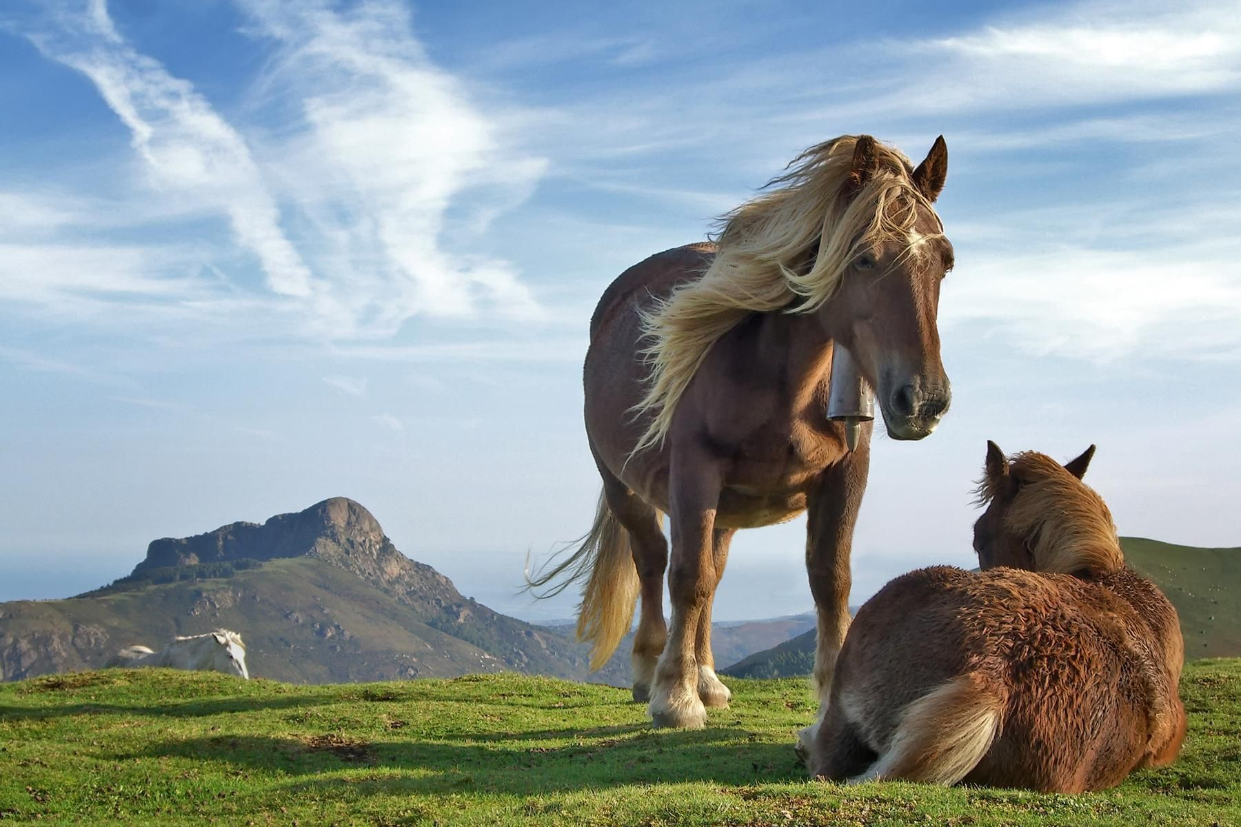 brown Horses Wallpaper Stallions Backgrounds Animals Backgrounds