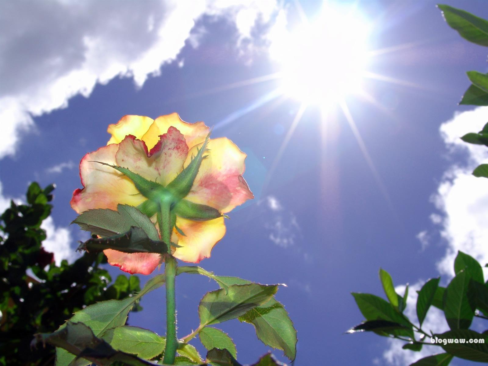 Gül, rose, bulut, güneş, aşk, sun, rosa